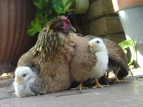 chicks-under-wings