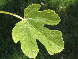fig_leaf
