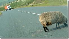 sheep without shepherd